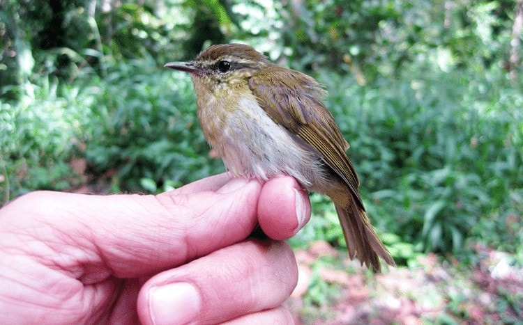 Ciri khas burung Cikrak Sulawesi