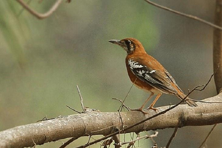 Daerah Persebaran Burung Anis Timor