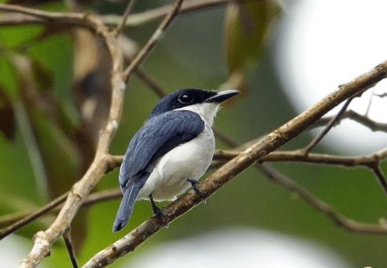 Daerah Persebaran Burung Jingjing Batu