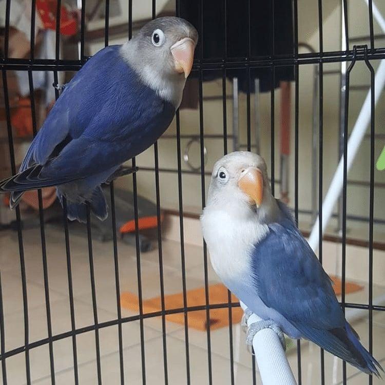 Hasil Persilangan Lovebird Violet dan Parblue