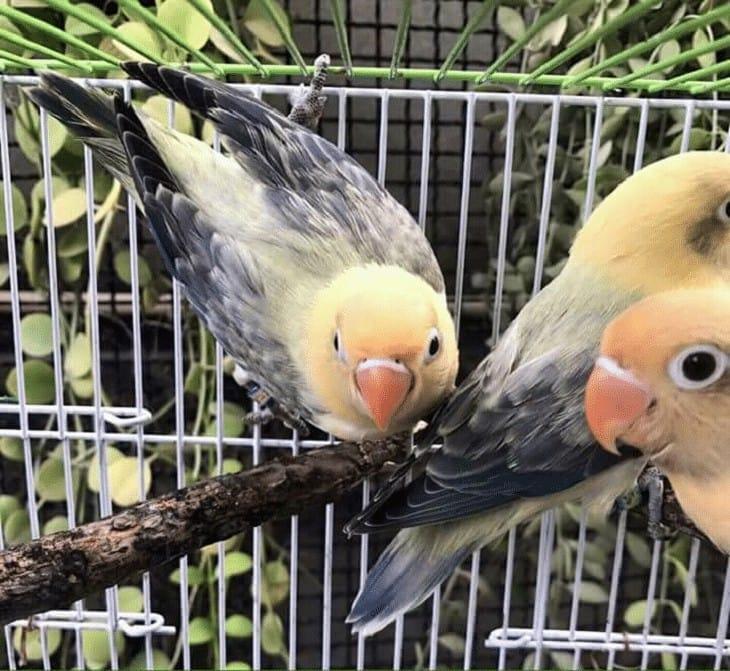 Jenis Mutasi Lovebird Biola