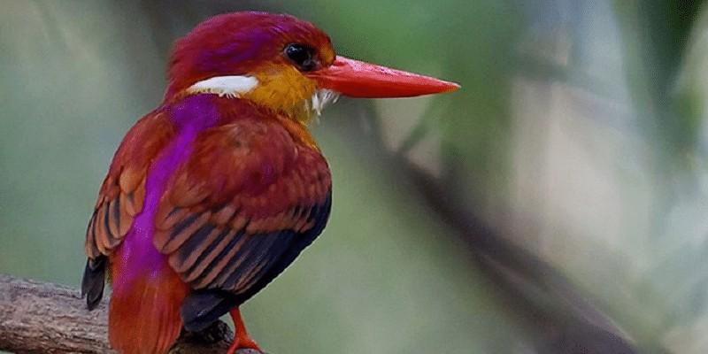 Karakteristik Burung Udang Merah Sangihe Yang Sudah Langka