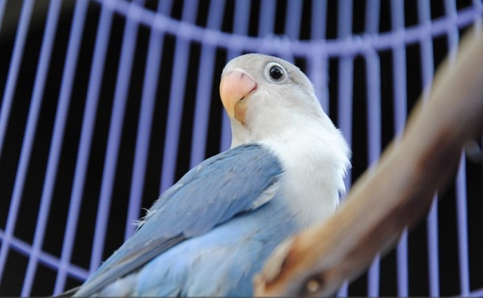Karakteristik lovebird kepala elang