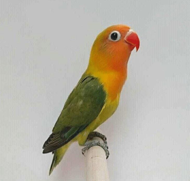 Lovebird Balibu Kepo
