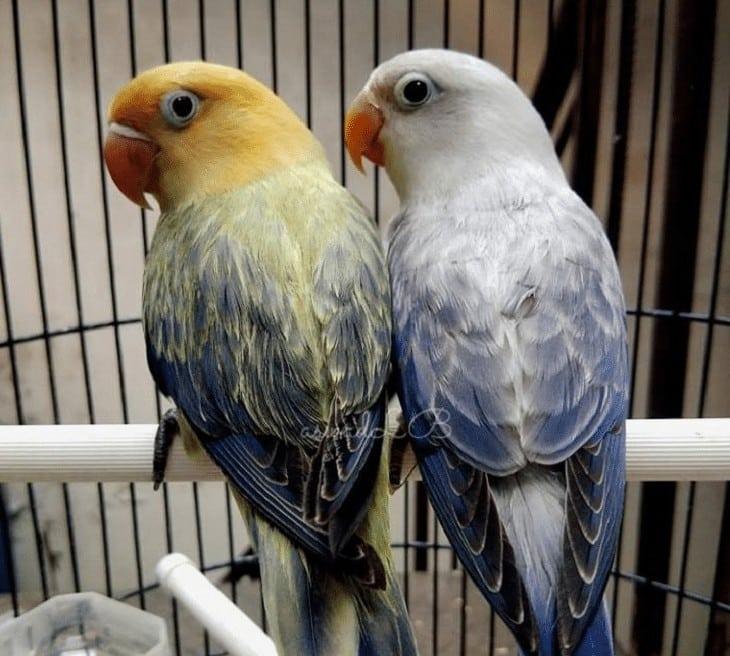 Lovebird Biola Parblue