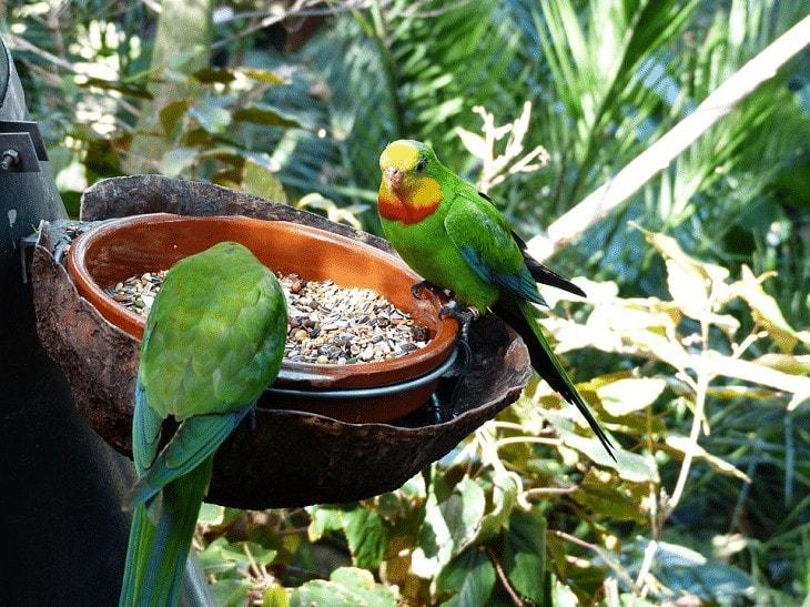 Manfaat Biji Chia untuk Burung Kicauan