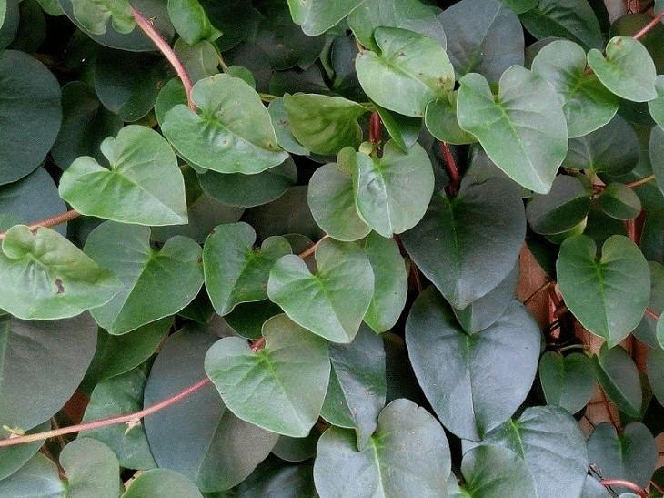 Manfaat daun Binahong Untuk Lovebird