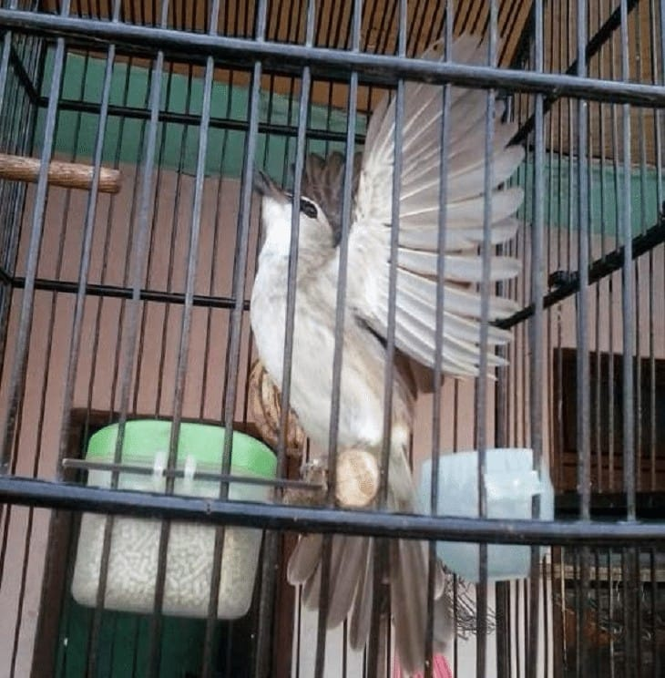 Melatih Burung Trucukan Agar Menggaruda