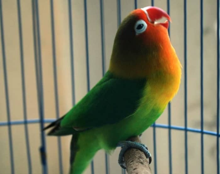 Melatih Lovebird Latah