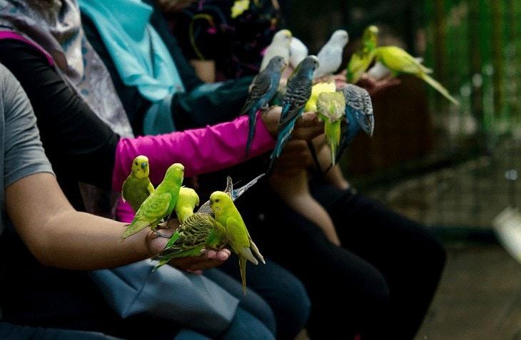 Memilih Burung Parkit Berkualitas