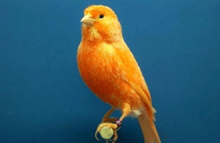 Memperindah Kicauan Burung Kenari