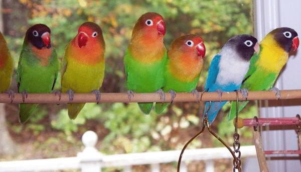 Mengetahui Jenis Warna Lovebird Berdasarkan Namanya