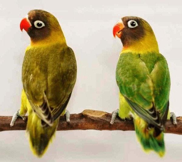 Mengetahui Karakteristik Jenis Lovebird Pastel Olive