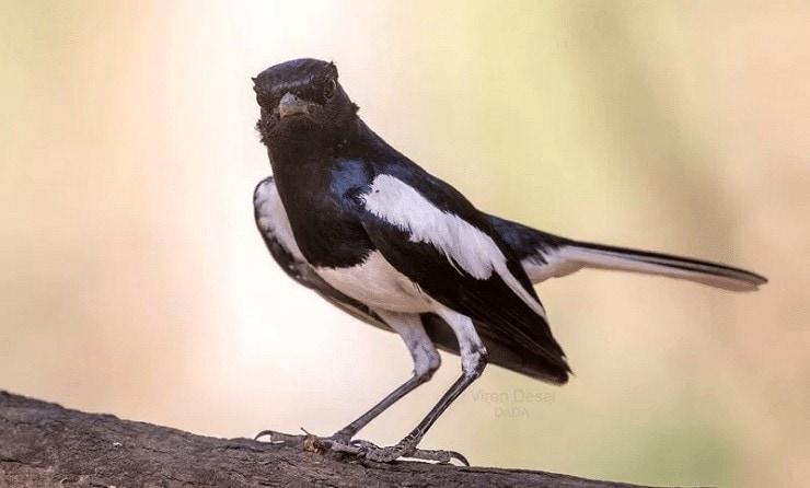 Orong-orong Untuk Burung Kacer