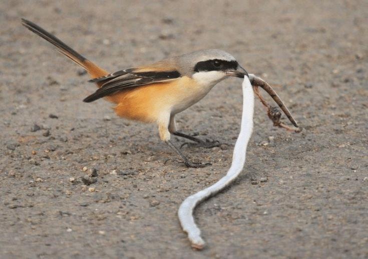 Pakan Burung Cendet