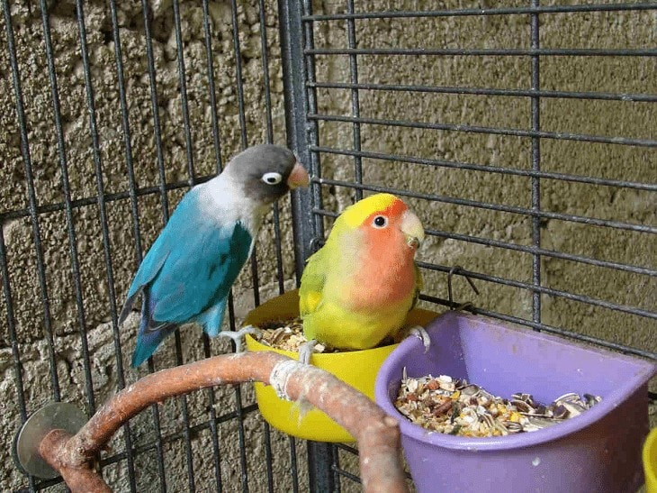 Pakan Racikan Lovebird Konslet