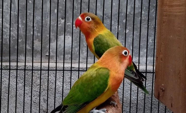 Pelatihan Lovebird Untulan