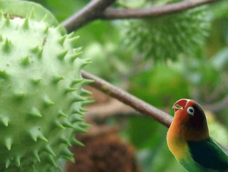 Pemberian Ramuan Buah Kecubung Untuk Lovebird
