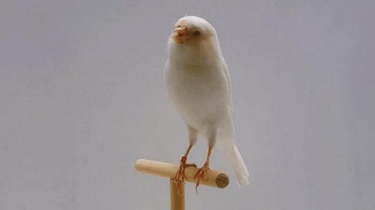 Perawatan Burung Kenari Putih
