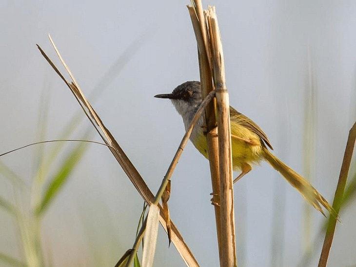 Perilaku Burung Perenjak Rawa