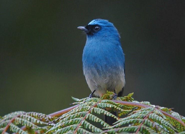 Perilaku Burung Sikatan Ninon