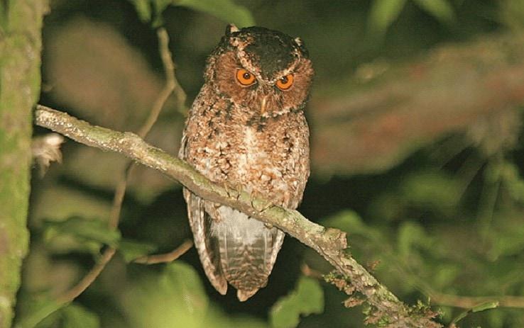 Populasi Burung Celepuk Jawa