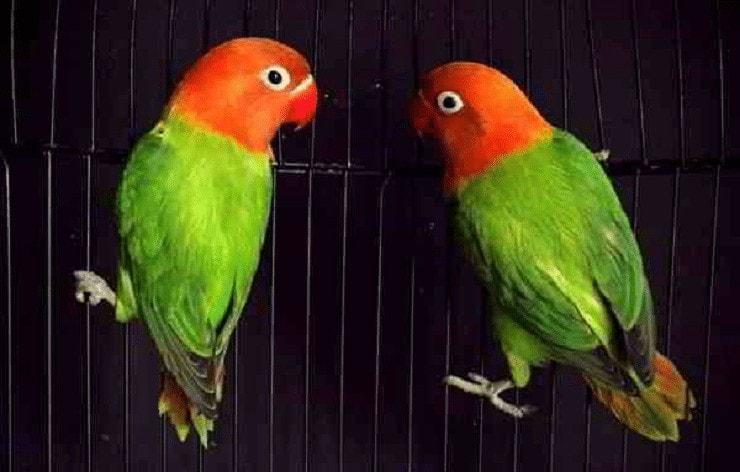 Asal Usul Lovebird Biola