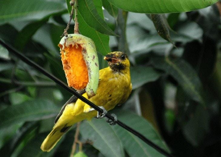 Buah Mangga untuk Burung
