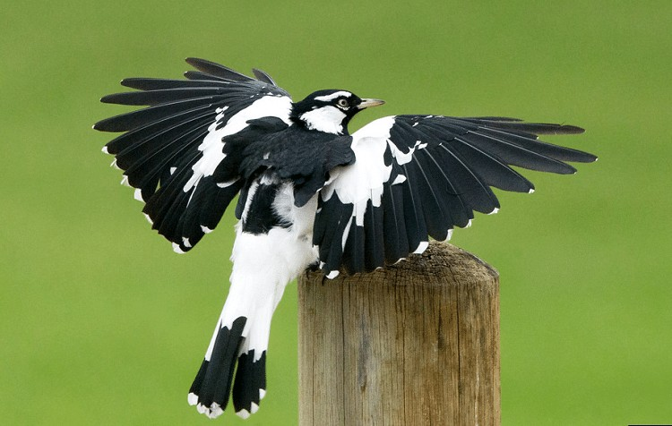Burung Branjangan Lumpur Australia
