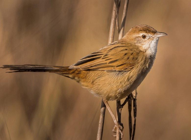 Burung Cica Koreng Kecil