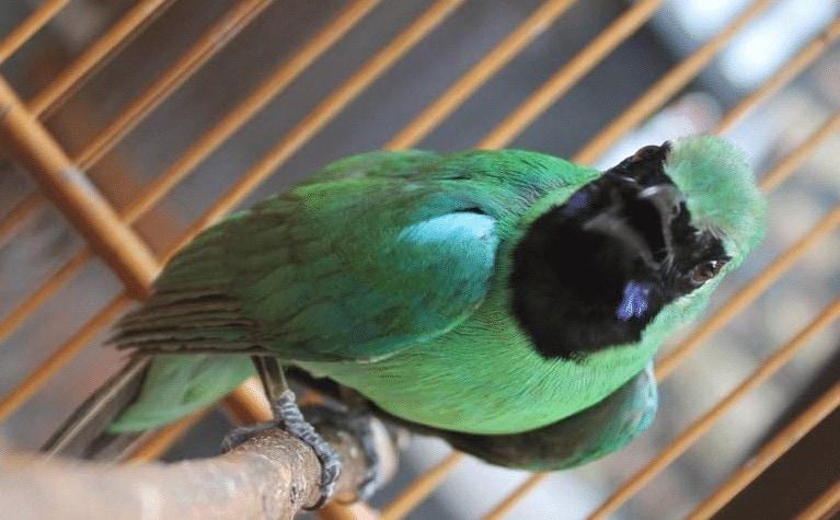 Burung Cucak Ijo Ngentrok
