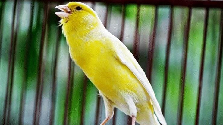Cara Menambah Volume Burung Kenari