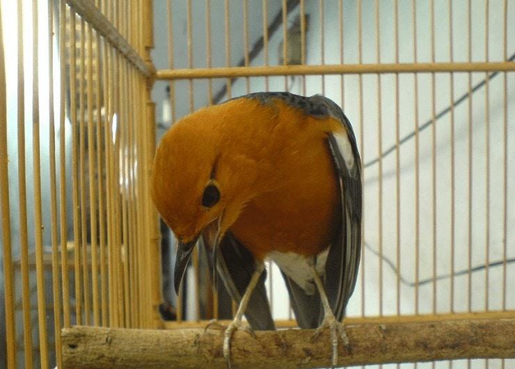Cara Mengatasi Burung Anis Merah Susah Teler