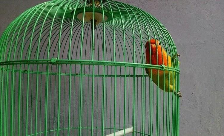 Cara Mengatasi Lovebird Hanya Ngetik di Lomba