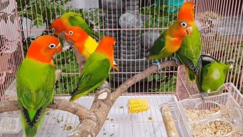 Cara Pemberian Kayu Manis Untuk Lovebird