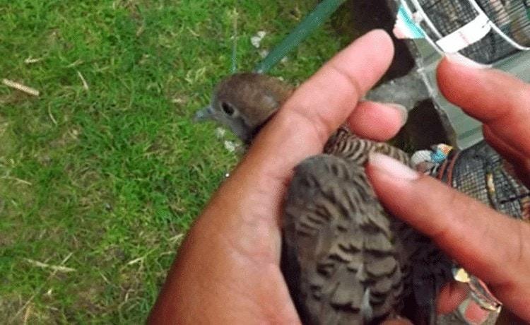 Cara Pijat Burung Perkutut Yang Benar