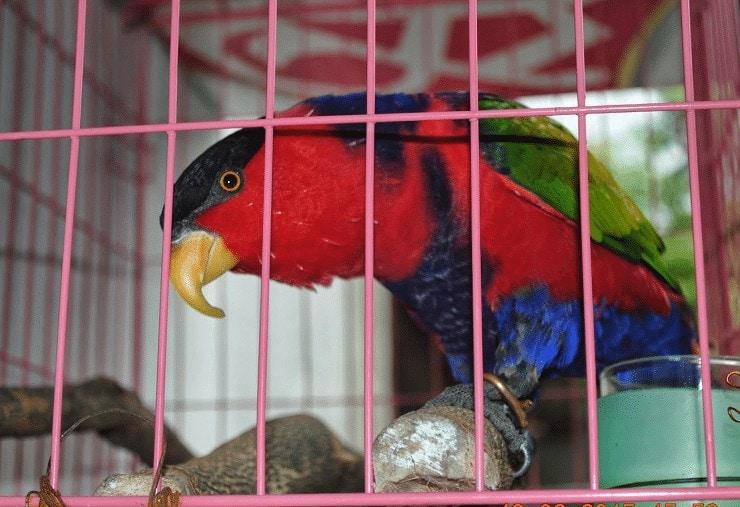 Cara Ternak Burung Nuri Kepala Hitam