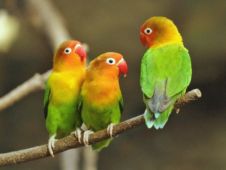 Cara Ternak Lovebird Poligami