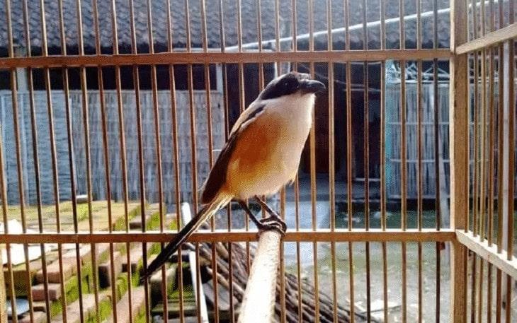 Ciri Fisik Burung Cendet Siap Lomba