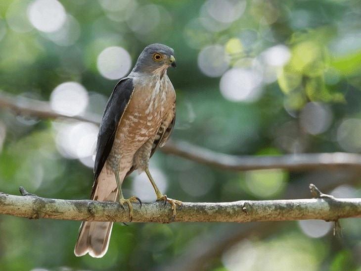 Ciri Khas Burung Alap-alap Besra