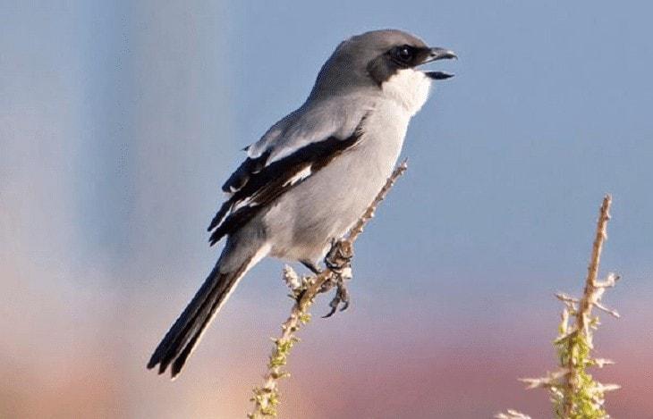 Ciri Khas Burung Cendet Madura