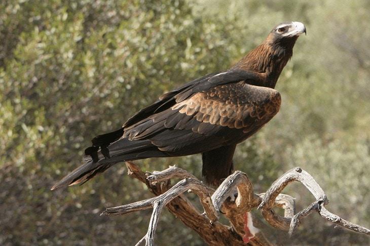 Ciri Khas Burung Elang Ekor Panjang