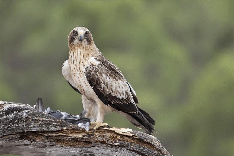 Ciri Khas Burung Elang Setiwel