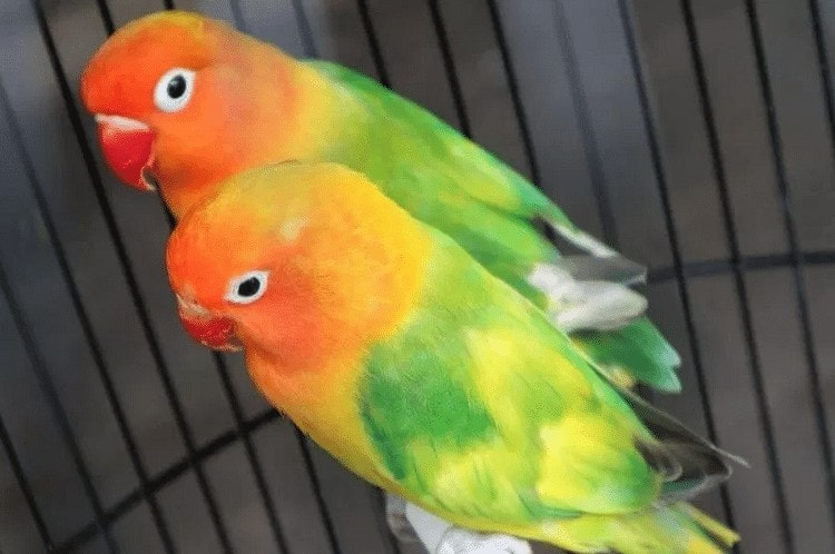Ciri Khas Lovebird Green Series Asli