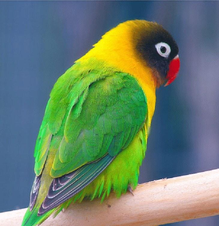 Ciri Khas Lovebird Kaca Mata Topeng