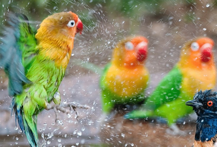 Ciri Lovebird Tipe Dingin