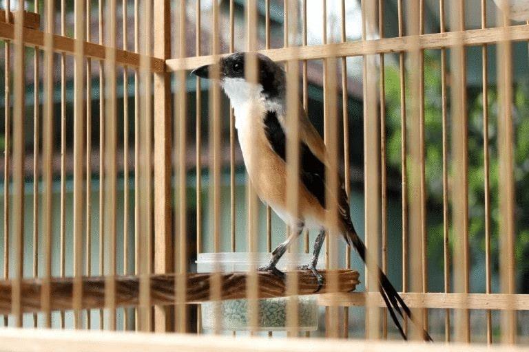 Intensitas Kicauan Burung Cendet