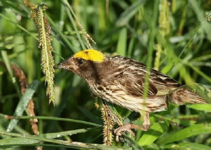 Jenis Makanan Burung Manyar