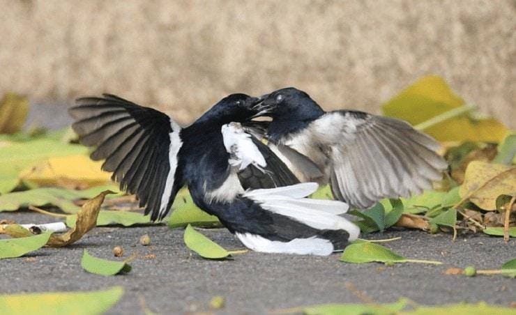 Karakter Burung Kacer