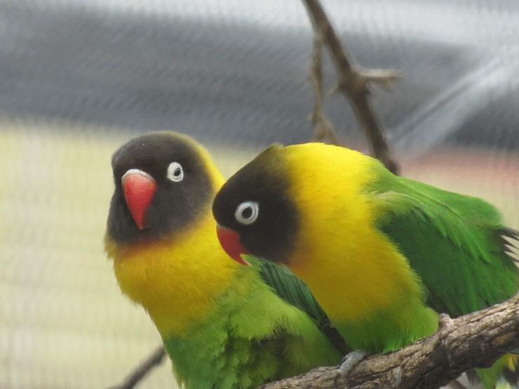 Lovebird Sering Tidur Di Lomba Pada Musim Hujan